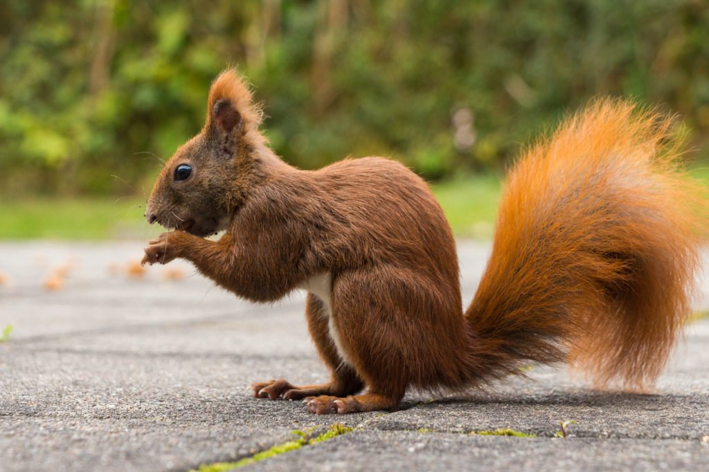 what to Know About Squirrels and the Pandemic