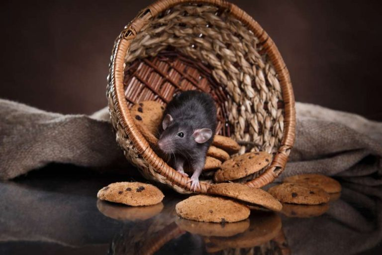 Rodent Problems in Houses